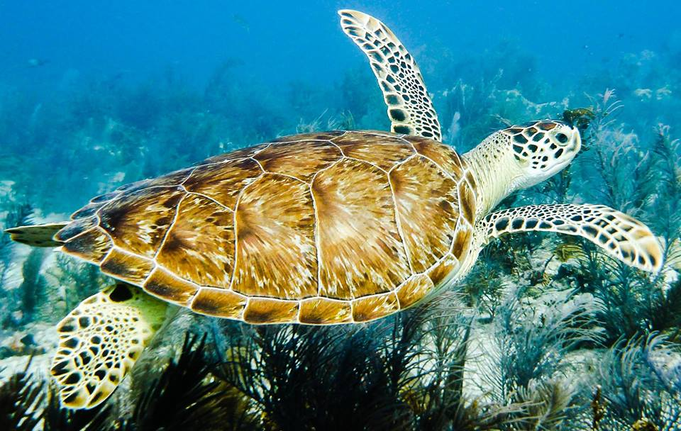 Diving Key Largo Sea Turtle