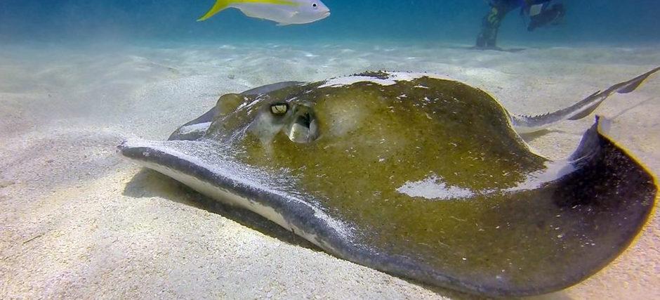 Stingray in Upper Keys